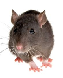 Rodent Control Award allowing user to purchase commercial quantity of rodenticide