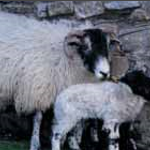 Animal Transport & Sheep dipping