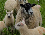 Collaborative farms sought for autumn sheep grazing